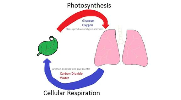A hand-drawn diagram showing the connection between the processes of photosynthesis and cellular respiration. The picture shows a green leaf and human lungs with arrows connecting the two things in a circular pattern with carbon dioxide and water flowing from the lungs to the leaf, and glucose and oxygen flowing from the leaf to the lungs.