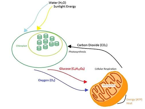 A diagram shows how cellular respiration and photosynthesis are direct opposite reactions. Energy from the sun enters a plant and is converted into glucose during photosynthesis in the chloroplast. Some of the energy is used to make ATP in the mitochondria during cellular respiration, and some is lost to the environment as heat.