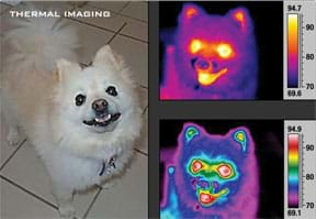 Three photographs of a small white dog, one in visible light, as humans normally see, and two others using IR technology in which the dog's ears, eyes, nose and mouth are roughly visible in different ROYGBIV colors that indicate their temperatures in °F.
