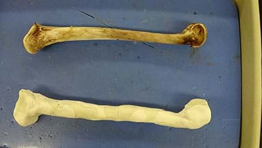 A photograph shows a dissecting tray that contains two bones. The top one is a real turkey femur. The bottom one is a student-created prototype of a turkey femur made from clay and other materials.