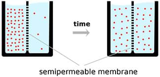 "A side-view drawing shows diffusion over a semipermeable membrane. From left to right: Most particles (red dots) are on one side of a container of liquid that is divided vertically by a membrane. An arrow labeled ""time"" points to the right where in the same container, the particles are now spread out equally on both sides of the membrane."