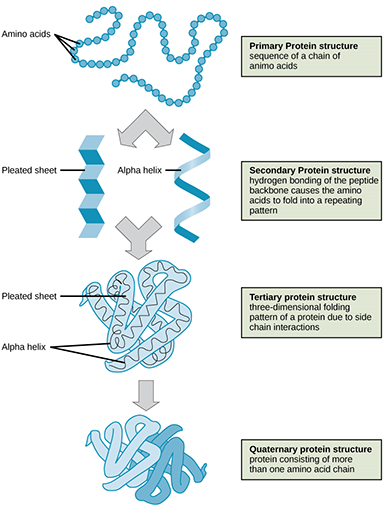 A diagram shows the four states of protein folding: 1) the primary protein structure is a sequence of a chain of amino acids (looks like a string of round beads), 2) the secondary protein structure is the hydrogen bonding of the peptide backbone that causes the amino acids to fold into a repeating pattern (pleated sheet and alpha helix), 3) the tertiary protein structure is the three-dimensional folding pattern of a protein due to side chain interactions, 4) the quaternary protein structure is protein consisting of more than one amino acid chain.