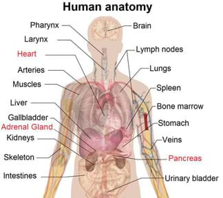 A drawing of the human anatomy shows the location of numerous sensor organs, highlighting the heart, pancreas and adrenal gland.