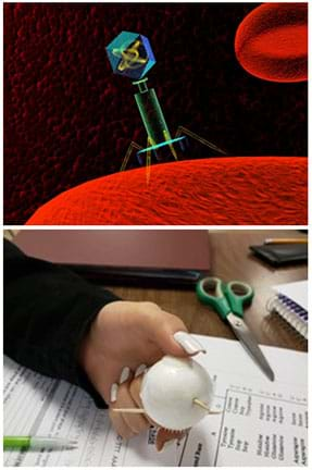 "(top) In the foreground, a blue and green bacteriophage landing on a red cell with its yellow tail fibers attaching. Additional red cells on a black background can be seen behind. (bottom) Student's hand holding student-made ""phage"" consisting of a white Styrofoam ball with three toothpicks sticking out as well as Velcro on the top and bottom."