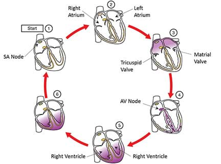 A six picture diagram of the electrical impulses that make heart work.
