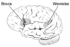 Line drawing of the human brain with arrows pointing to two interior areas.