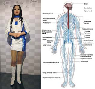 Photo shows a Japanese robot called DER 01 that looks amazingly like an Asian girl with long hair, stylish clothing and realistic body shape and parts. A diagram of the human body with lines throughout, identifying nervous system parts such as brain, cerebellum, spinal cord, and plexuses and nerves.