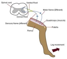 Diagram of patellar (knee) reflex indicates leg movement (a kick) and identifies femur, patella, quadriceps muscle, sensory nerve, motor nerve, dorsal root, ventral root and spinal cord.