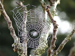 A photograph shows a spider in a delicate web that is stretched between two branches and dripping with dew.