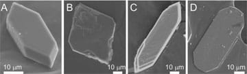 Four calcium oxalate monohydrate (COM) crystals—black and white microscopic photographs with scales showing 10 μm lengths. The first COM crystal (A) presents a normal elongated hexagonal shape and length; the three others show how inhibitor molecules that bind to COM crystals alter growth rates and shapes: BSA results in diamond-shaped crystals (B), C4S increases the length (C), and citrate produces quasi-rectangular crystal habit (D).