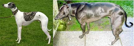 Two photographs of Whippet dogs. The one on the left is small and lean while the one on the right is large and muscular.