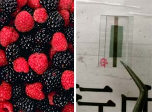Two photos: (left) A handful of blackberries and raspberries. (right) An organic photovoltaic device, which looks like a double-layer glass square with a green and gray material between, being held by tweezers against a white background to show the pattern of the device.