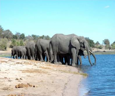 A photograph shows a group of 6-7 elephants along a shallow body of water with trunks down trying to get a drink of water.