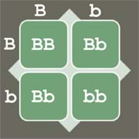 A four-square grid with columns titled, B and b, and rows titled B and b. The four square cells are labeled BB (top left), Bb (top right), Bb (bottom left), and bb (bottom right).