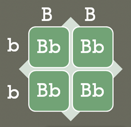 A foursquare grid with columns titled B and B, and rows titled b and b. The four square cells are each labeled Bb.