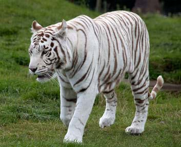 A photograph shows a white tiger with black stripes.