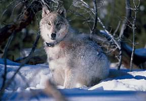 A photograph shows a gray wolf (canis lupus) facing the camera and wearing a tracking collar. The wolf is on snowy ground with branches in the foreground and background. His coat is mostly gray, white and black, with a patch of red near his shoulder.