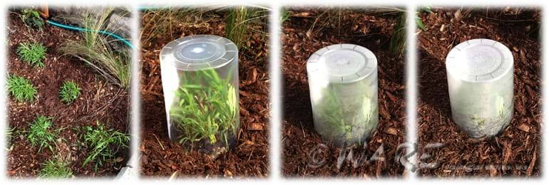 Four photographs show an evapotranspiration time series for a Florida native plant species with the common name, Yellowtop. First photo shows several of the same little green plants with long leaves planted near each other, surrounded by bark mulch. In the next three photos, one plant is covered by an inverted clear plastic cup that is increasingly opaque with condensation building up inside.