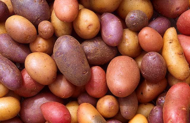 An image of several dozen potatoes of varying shapes, sizes, and colors.