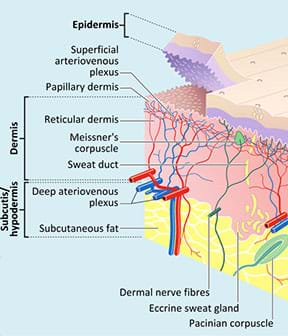 A cutaway anatomical drawing shows the anatomy of skin. Its primary layers are epidermis, dermis and subcutis/hypodermis. Other  identified components are: superficial arteriovenous plexus, papillary dermis, reticular dermis, Meissner's corpuscle, sweat duct, deep arteriovenous plexus, subcutaneous fat, dermal nerve fibers, eccrine sweat gland, Pacinian corpuscle.