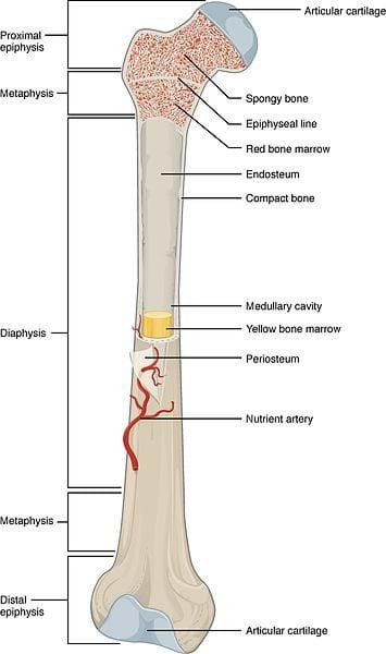 A cutaway anatomical drawing shows a long bone that is knobby at each end with identified bone sections: proximal epiphysis, metaphysis, diaphysis, metaphysis, distal epiphysis. Other identified bone parts are: articular cartilage, spongy bone, ephiphyseal line, red bone marrow, endosteum, compact bone, medullary cavity, yellow bone marrow, periosteum, nutrient artery, articular cartilage.
