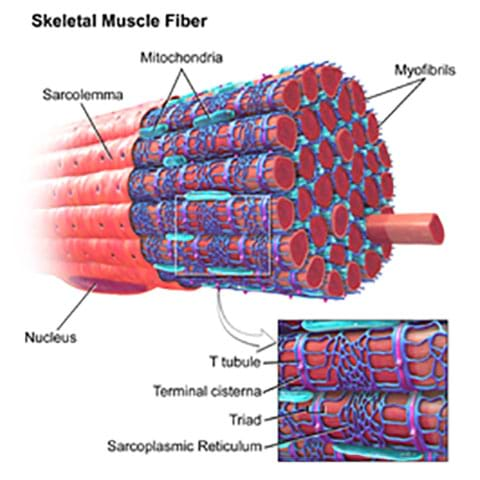 A cutaway anatomical drawing of skeletal muscle fiber shows many organized muscle fibers and cells, labeled by type: sarcolemma, nucleus, mitochondria, myofibrils, T tubule, terminal cisterna, triad, sarcoplasmic reticulum.