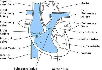 Cutaway drawing shows and identifies: superior vena cava, right pulmonary artery, pulmonary veins, right atrium, tricuspid valve, right ventricle, inferior vena cava, pulmonary valve, aortic valve, septum, left ventricle, mitral valve, left atrium, left pulmonary artery and aorta.