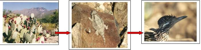A three-part image shows a food chain: prickly pear cacti > a horned toad > a roadrunner.