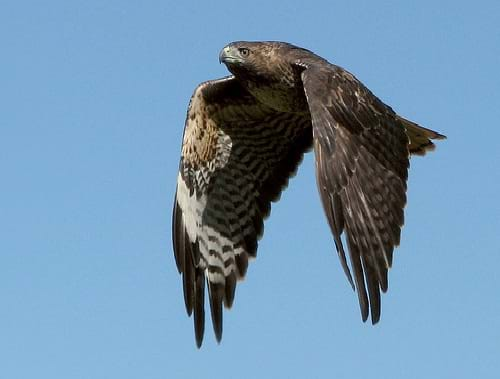 Photograph shows a redtailed hawk in flight showing its wing pattern.