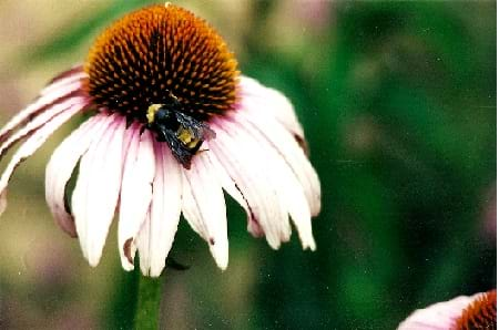 A photo shows a bee pollinating a purple coneflower.