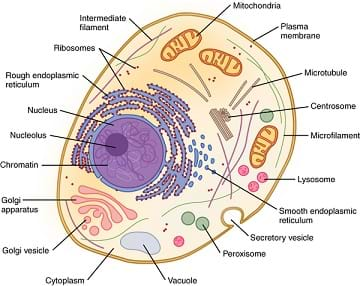 An animal cell and its various components that inlcude a nucleus, mitochondria, cytoplasm, vacuole, ribosomes, endoplasmic reticulum and lysosomes among others.