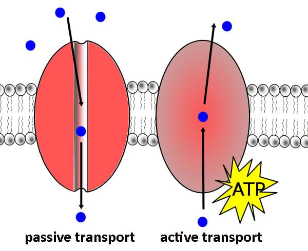 An illustration of passive and active transport in a cell. Passive transport shows molecules moving down the concentration gradient in a cell, while active transport uses ATP to move the molecules up the concentration gradient.