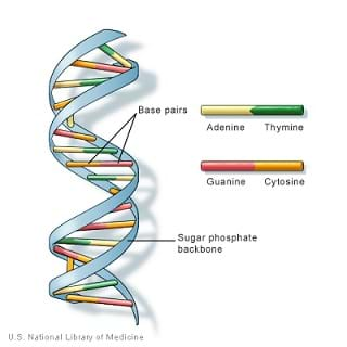 A color drawing that looks like a twisted rung ladder. It is a DNA double helix formed by base pairs attached to two parallel twisted sugar-phosphate backbones with each base a different color. A legend shows which base (adenine, thymine, guanine, cytosine) corresponds to which color.