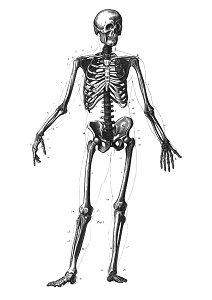 An image of the human skeleton.