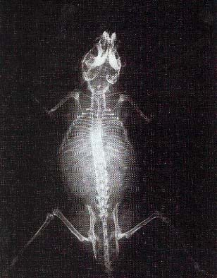 A black and white x-ray shows the skeleton of a small animal.