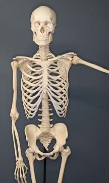 A human skeleton on exhibit at The Museum of Osteology, in Oklahoma City, Oklahoma.