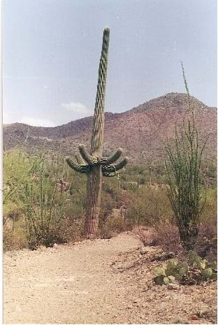 A photograph shows a trail leading into a desert landscape with multiple types of cacti, including a tall, multi-armed saguaro cactus, and low mounded hills in the distance.