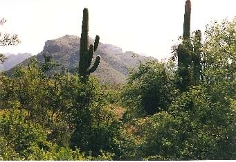 Sonoran Desert landscape within Saquaro National Park shows scrubby bushes, a few multi-armed saguaro cacti and rocky mountain in the distance.