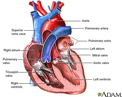 What do i need to know about heart valves lesson teachengineering a cutaway medical drawing of the human heart with the chambers and valves identified as ccuart Choice Image