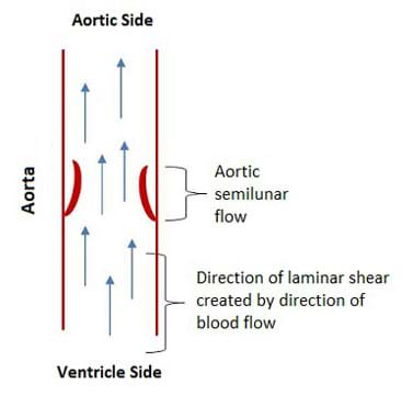 "A cutaway diagram of the aorta shows the aortic valves open (noted as ""aortic semilunar flow""), and the direction of blood flow indicated by arrows (noted as ""direction of laminar shear created by direction of blood flow""), moving from ventricle side to aortic side."