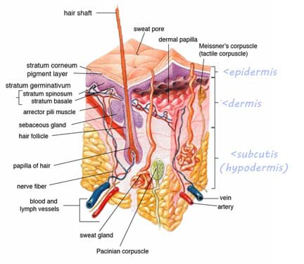 A cross-section medical drawing shows the anatomy of human skin, including the epidermis, dermis and subcutis (hypodermis) layers.