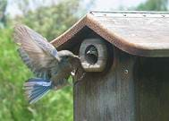 Photo shows a bird landing near a hole in a little house, with a tiny bird looking out through the hole.