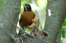Photo shows a red-brested bird standing on the edge of a stick-made next with two baby birds in it, beaks wide open.