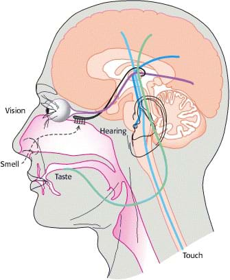A cutaway medical illustration shows an outline of a human head with labels and anatomical representations of the five senses (vision-eyes, smell-nose, hearing-ears, taste-tongue, touch-spinal cord) and their connections to the brain.