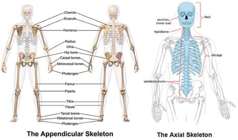 Two diagrams show the human skeleton with the main bones of the appendicular and axial skeletons identified: clavicle, scapula, humerus, radius, ulna, hip bone, carpal bones, metacarpal bones, phalanges, femur, patella, tibia, fibula, tarsal bones, metatarsal bones, phalanges, skull, ossicles (inner ear), hyoid bone, rib cage, vertebral column.