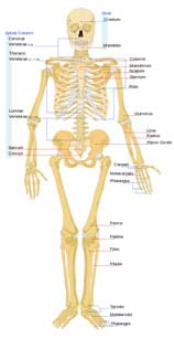 A front view diagram shows the human skeletal system with major bones identified: cranium, mandible, cervical vertebrae, thoracic vertebrae, lumbar vertebrae, sacrum, coccyx, clavicle, manubrium, scapula, sternum, ribs, humerus, ulna, radius, pelvic girdle, carpals, metacarpals, phalanges, femur, patella, tibia, fibula, tarsals, metatarsals and phalanges.