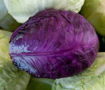 Photo shows many heads of cabbage; most are whitish yellow; one is bright purple.